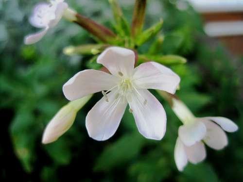 Flowers White Small Delicate Pretty Pure Garden