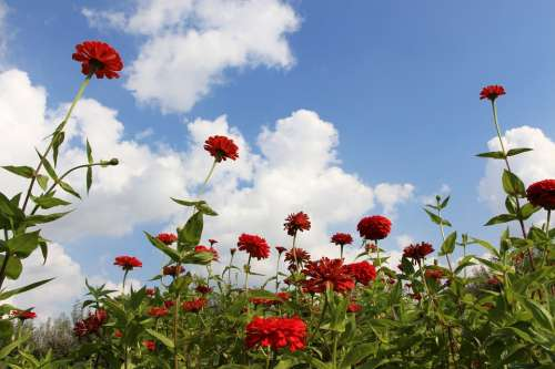 Flowers Red Flowers Flowery Sky Ambition Reaching