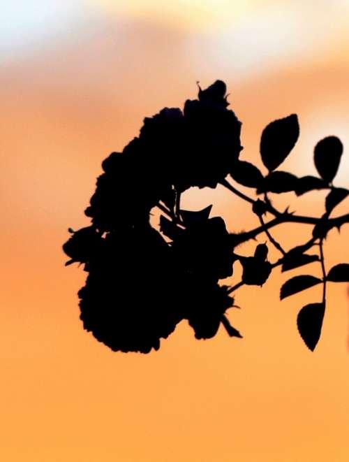 Flowers Roses Silhouette Sky Sunset Orange