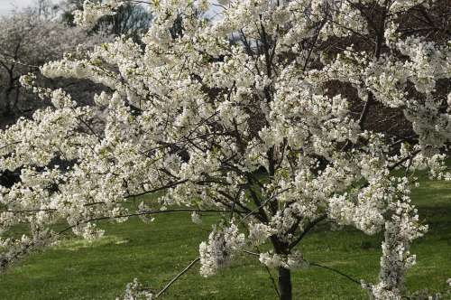 Flowers Cherry Blossoms Tree Spring Druid Hill Park