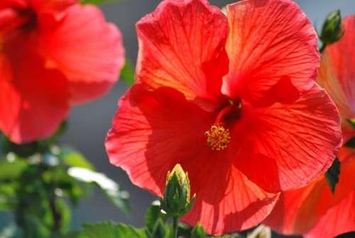Flowers Orange Hibiscus Pretty Summer Bright