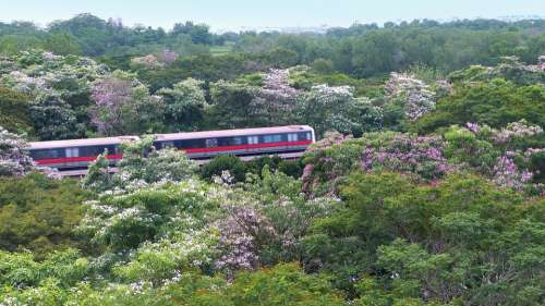Flowers Trees Tabebuia Rosea Blossoms Blooming