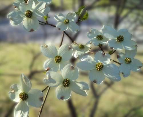 Flowers Dogwood Spring Dogwood Blossoms Blossoms