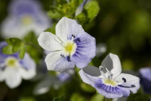 Flowers Small White Blue Stamp Pollen Spring