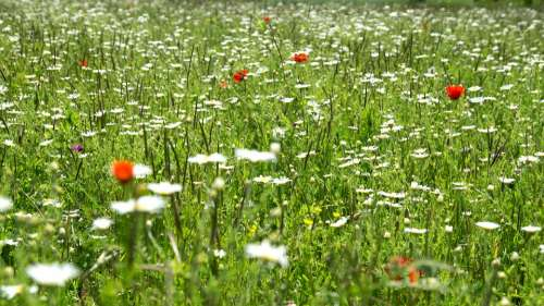 Flowers Meadow White Flower Plant Green Grass