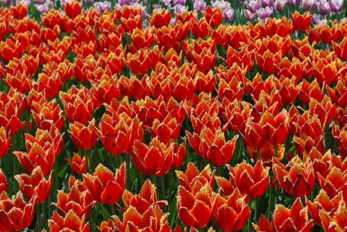 Flowers Tulips Spring Handsomely