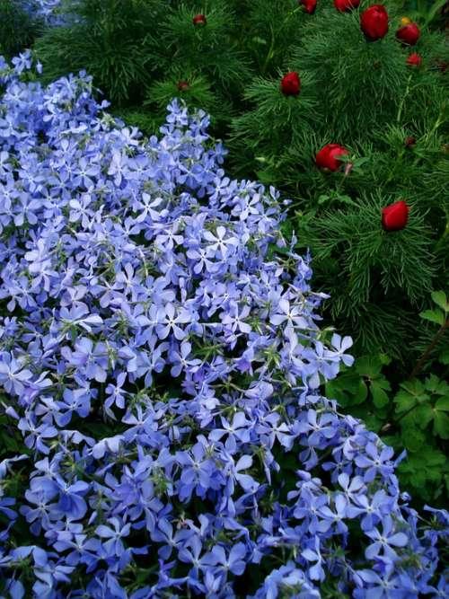 Flowers Spring Flowers Blue Flowers Purple Flowers