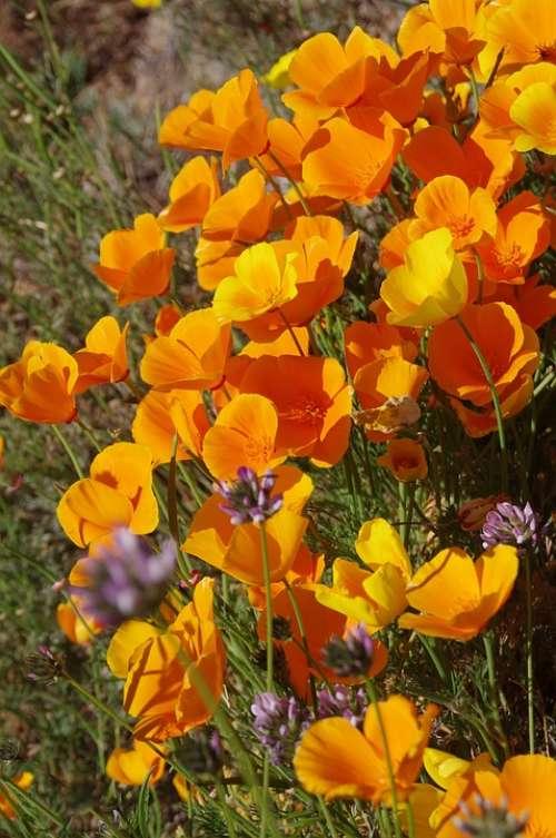 Flowers Summer Poppy Poppy Flower Wildflowers