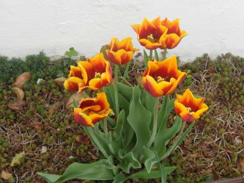 Flowers Tulips Floral Greeting Plant Color Garden