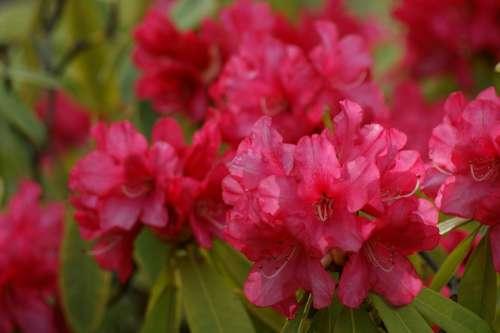 Flowers Pink Azalea Rhododendron Pink Azalea