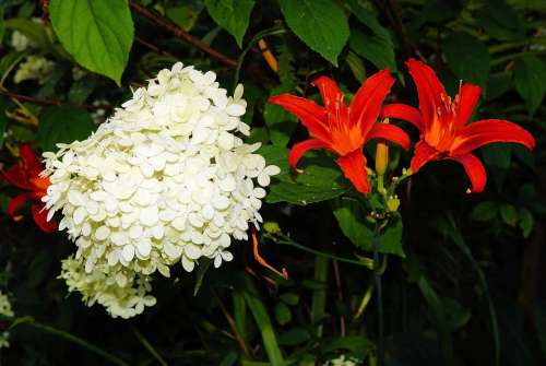 Flowers Red White Garden Hydrangea Lily