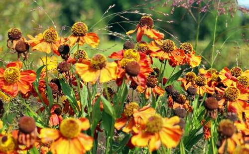 Flowers Coneflower Flower Yellow Orange Bloom