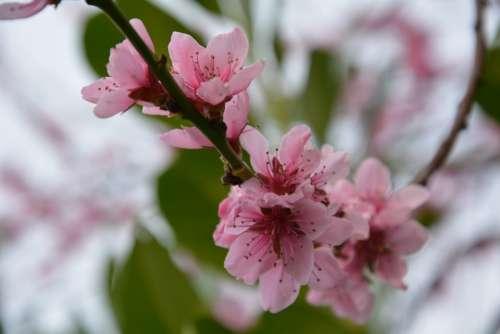 Flowers Spring Cherries Nature Plant Bloom
