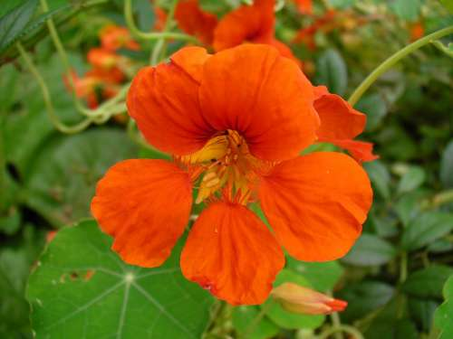 Flowers Nasturtiums Orange Nasturtium Tropaeolum