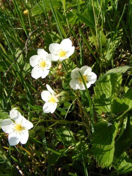 Flowers Forest Green Strawberries White Wild