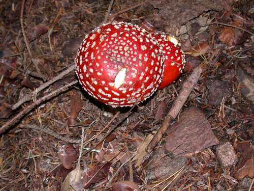 Fly Agaric Toadstool Mushrooms Forest Poison Toxic
