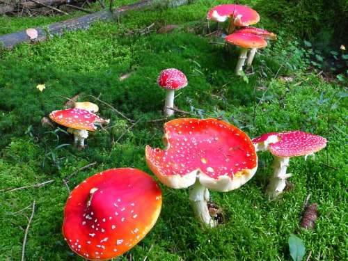 Fly Agaric Mushroom Mushrooms