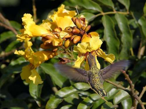 Flying Flowers Hummingbirds Birds Animals Fauna