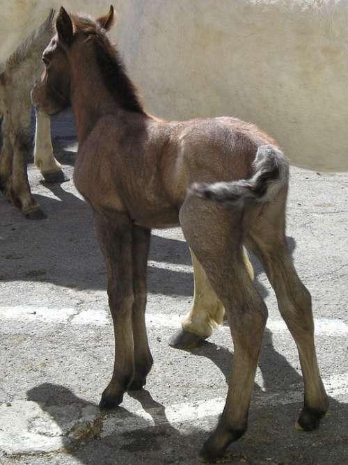 Foal Horse Camargue Animals
