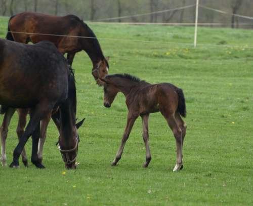 Foal Horse Pasture Brown Mammal Horses