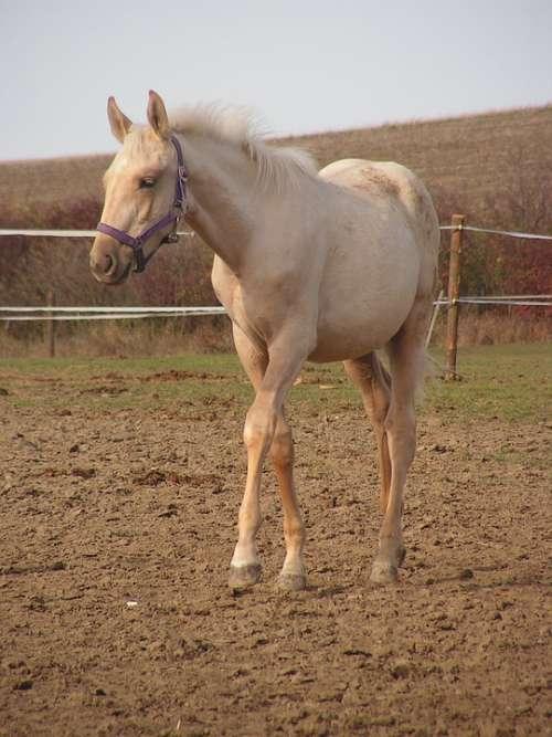 Foal Horse Gold Halter Pen