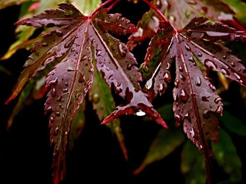 Foliage Japanese Maple Water Drops