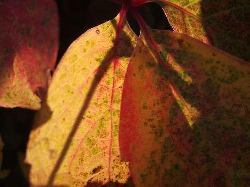Foliage Autumn Yellow Nature Leaf Veins Red Macro