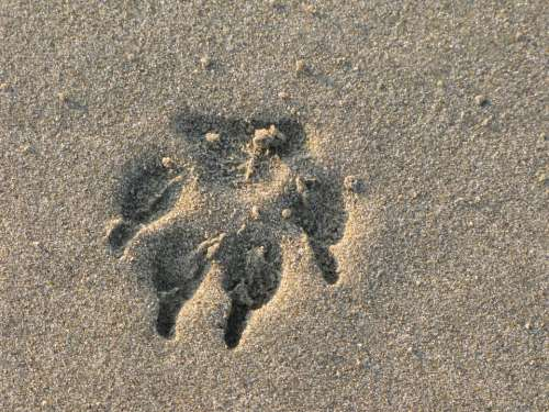 Footprint Paw Animal Sand Sea