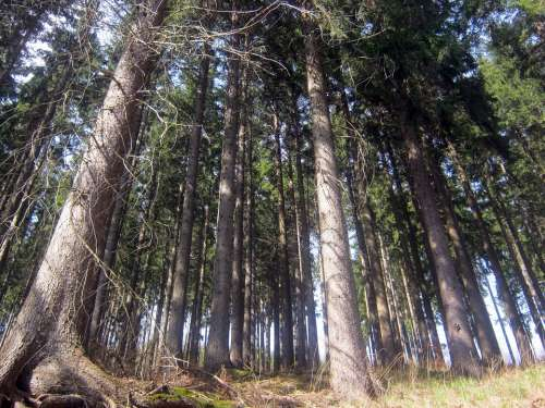 Forest Nature Trees Crowns Background Perspective