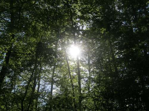 Forest Nature Trees Crowns Background Sunlight
