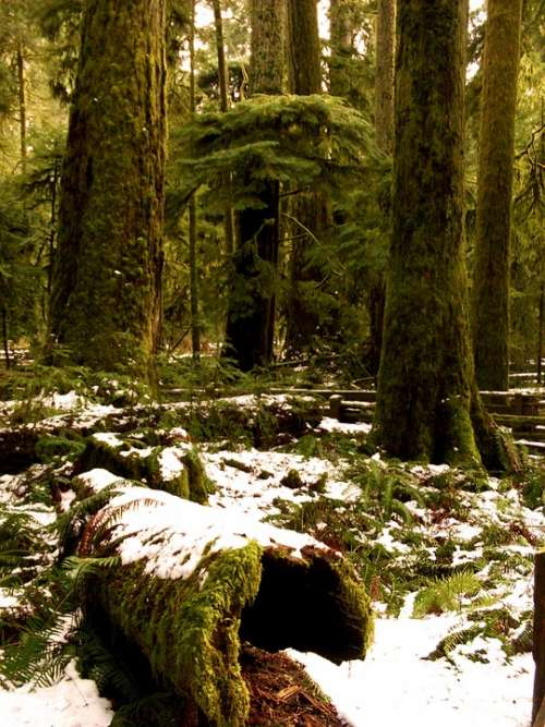 Forest Snow Wood Holtfa Moss