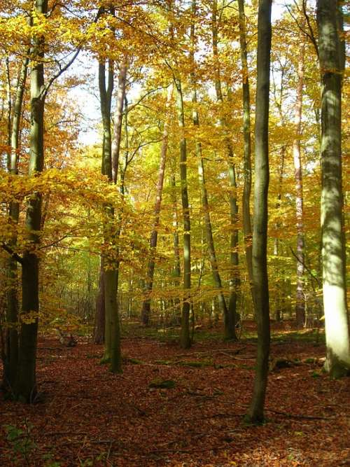 Forest Golden October Autumn Bright Yellow
