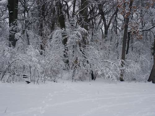 Forest Snow Trees Winter Wilderness Nature