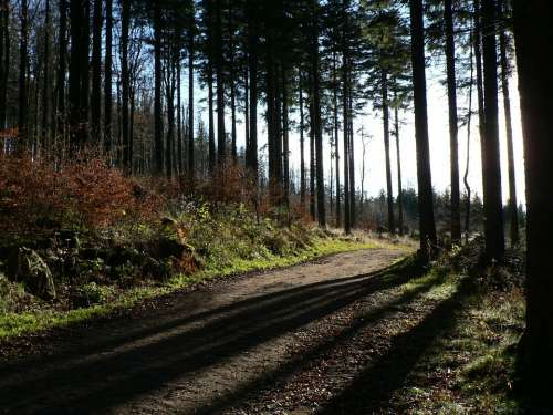 Forest Trees Nature Alsace Fir Light And Shade