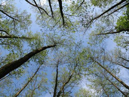 Forest Trees Canopy