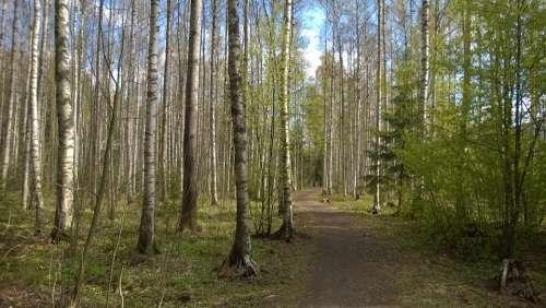 Forest Spring Birch Grove