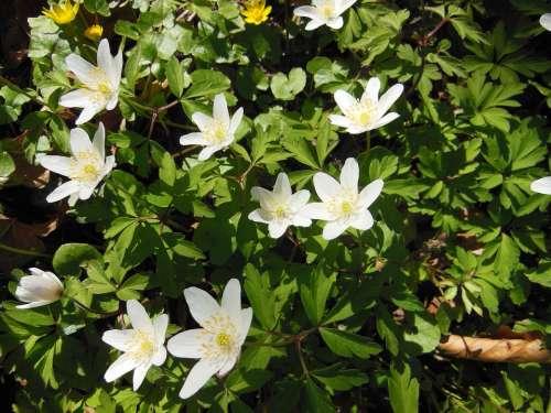 Forest Floor Spring Wood Anemone Anemone Nemorosa