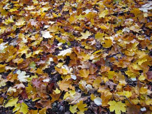 Forest Floor Maple Leaves Autumn Emerge