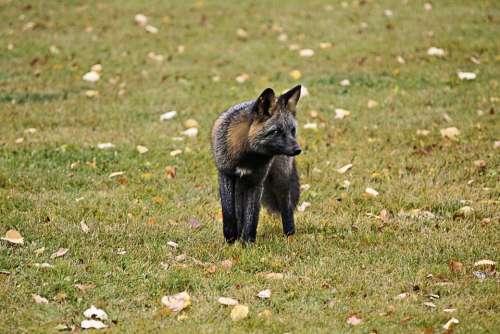Fox Animal Wild Life Wild Wild Life Predator