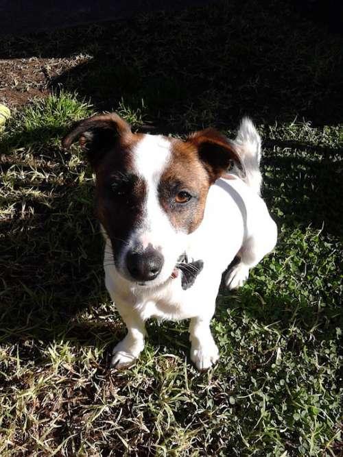 Fox Terrier Dog Terrier Pet White Domestic