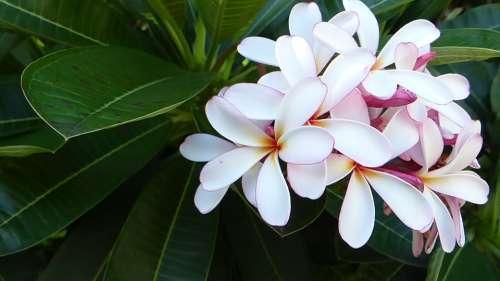 Frangipani Flower Nature