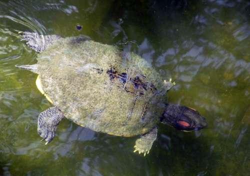 Freshwater Turtle Swimming Water Shell Underwater