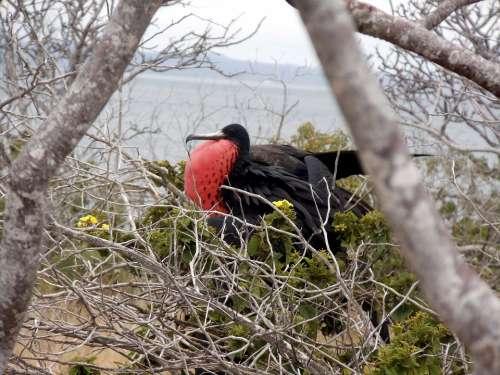 Frigate Bird Tropical Marine Island Mate Mating