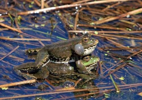 Frog Frogs Mating Amphibian Amphibians Wild