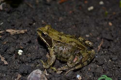 Frog Common Frog Amphibian Rana Temporaria Wet