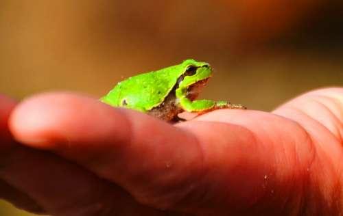 Frog Tree Frog Amphibians Wood Green Hand Small