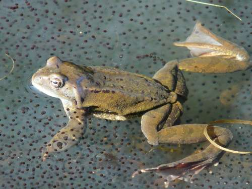 Frog Frog Spawn Spawn Animal