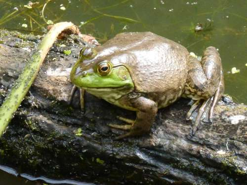 Frog Amphibian Pond Water Animal Green Nature