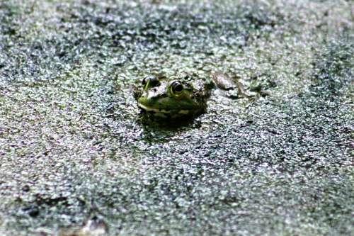 Frog Green Amphibian Wildlife Eye Closeup Toad