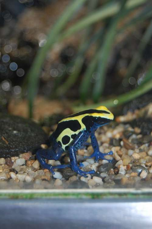 Frog Blue Yellow Toxic